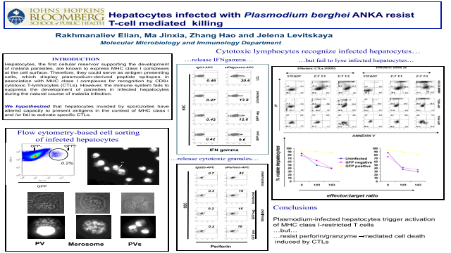 Hepatocytes infected with <i>Plasmodium berghei</i> ANKA resist T-cell mediated killing.